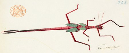 Podacanthus Typhoon, watercolor and ink drawing of stick insect by Thomas Watling